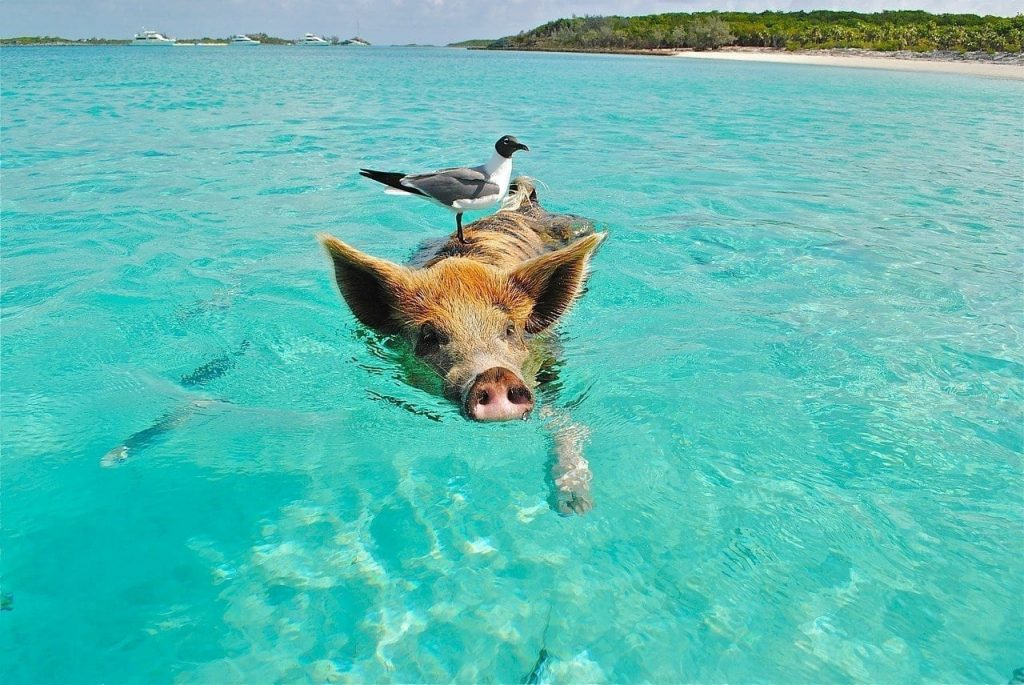 Swimming Pig At Tropical Beach